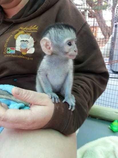 Nabídka Kapucínský opice