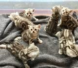 Koťata Britská Whiskas