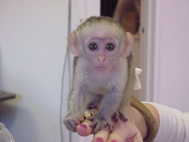 Nabídka Kapucinsky opice